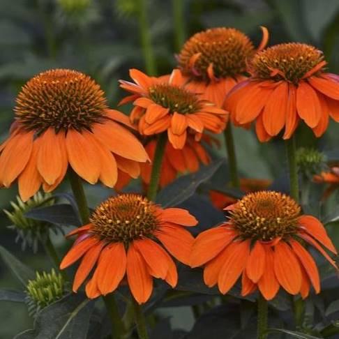 Echinacea purpurea Sombrero® Adobe Orange